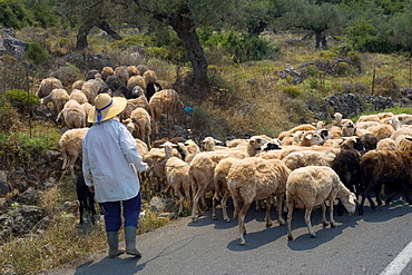 Herd of sheep on the road, Peloponnese, Greece