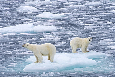 Polar Bears (Ursus maritimus), female and juvenile on an ice floe in the pack ice, Spitsbergen Island, Svalbard Archipeligo, Svalbard and Jan Mayen, Norway, Europe