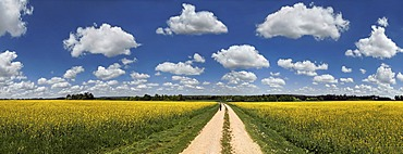 Hiker on a dirt track, bright rape fields and white clouds against a blue sky, near Erkertshofen, Titting, Altmühltal Nature Park, Bavaria, Germany, Europe