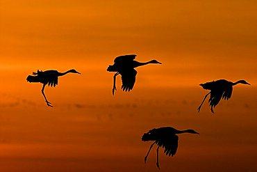 European cranes (grus grus) landing