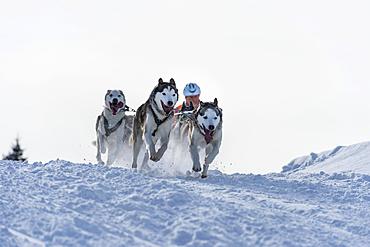 Sled dog racing, sled dog team in winter landscape, Unterjoch, Oberallgäu, Bavaria, Germany, Europe