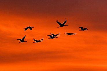 troop of cranes (grus grus) flying into the sunrise, national park Vorpommersche Boddenlandschaft, Mecklenburg Vorpommern, Germany