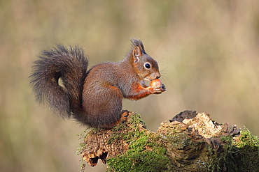 Eurasian red squirrel (Sciurus vulgaris) sits on mossy deadwood and eats a nut, Germany, Europe