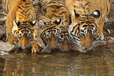 Bengal tigers (Panthera tigris tigris), tigress with her young cubs drinking water from a small pond, Ranthambhore National Park, Rajasthan, India, Asia
