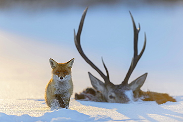 Red fox (Vulpes vulpes), by the carcass of a red deer that fell into the ice, frozen lake, Bohemian Forest, Czech Republic, Europe