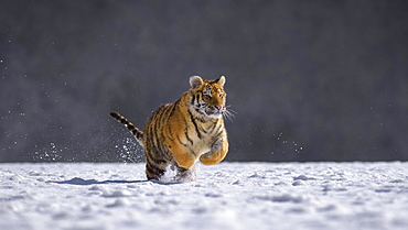 Siberian tiger (Panthera tigris altaica), captive, running in the snow, jumping, Moravia, Czech Republic, Europe