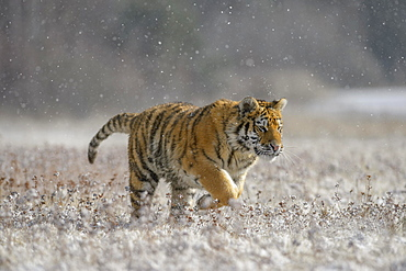Siberian tiger (Panthera tigris altaica), captive, running across a meadow during heavy snowfall, Moravia, Czech Republic, Europe