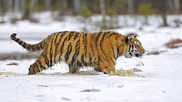 Siberian tiger (Panthera tigris altaica), runs through snow and water, captive, Moravia, Czech Republic, Europe