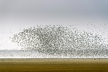 Large flock of waders, red knots (Calidris canutus) and oystercatchers (Haematopus ostralegus) above the alluvial area Wash, Snettisham, Norfolk, England