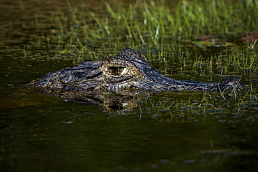 Yacare Caiman (Caiman yacare, Caiman crocodilus yacara), portrait in water, Pantanal, Mato Grosso do Sul, Brazil, South America