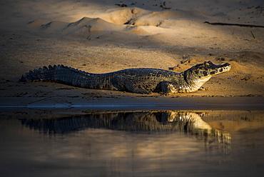 Yacare caiman (Caiman crocodilus yacara) by the water, Pantanal, Mato Grosso do Sul, Brazil, South America