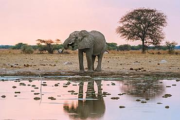 African elephant (Loxodonta africana) drinks at a waterhole, Nxai Pan National Park, Ngamiland District, Botswana, Africa