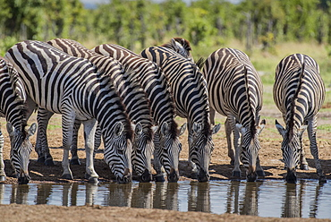 Burchell's Zebras (Equus burchelli), herd drinking at a waterhole, Savuti, Chobe National Park, Chobe District, Botswana, Africa