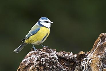 Blue Tit (Parus caerulea), Emsland, Lower Saxony, Germany, Europe