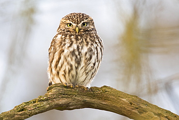 Little Owl (Athene noctua), sitting on tree branch, Emsland, Lower Saxony, Germany, Europe