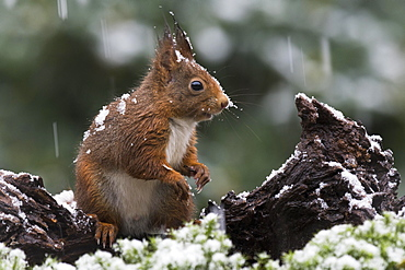 Eurasian red squirrel (Sciurus vulgaris) in case of snowfall, Lower Saxony, Germany, Europe