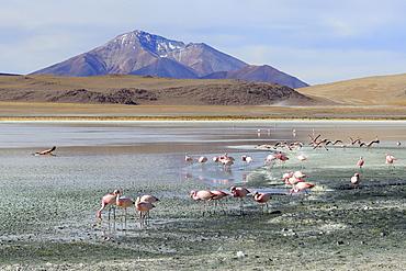 James's flamingos (Phoenicoparrus jamesi), Laguna Hedionda, lagoon route, Nor Lipez Province, Potosi Department, Bolivia, South America
