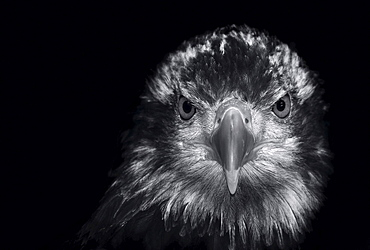 black and white portrait of a Golden Eagle Aquila chrysaetos