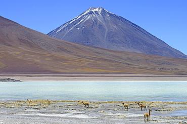 Vicunas (Vicugna vicugna) in front of Laguna Verde and the volcano Licancabur, Reserva Nacional de Fauna Andina Eduardo Abaroa, Sur Lipez, Potosi, Bolivia, South America