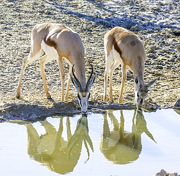 Impalas (Aepyceros) drinking at waterhole, Kgalagadi Transfrontier National Park, North Cape, South Africa, Africa