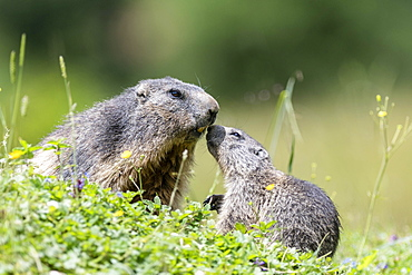 Marmot (Marmota) with juvenile in meadow, Dachstein, Styria, Austria, Europe