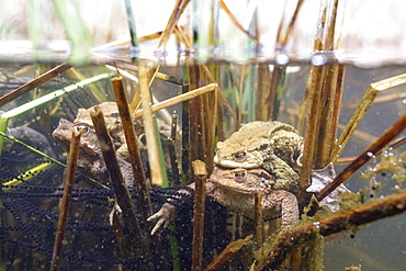 Common toad (Bufo bufo-Komplex), Pair spawning, spawn and aquatic plants in a pond, pairing, split image, Saxony-Anhalt, Germany, Europe