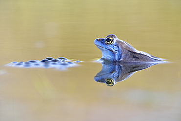 Moor frog (Rana arvalis) male, blue coloured during mating season, with spawn in spawning waters, Thuringia, Germany, Europe