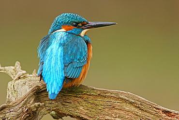 Kingfisher (Alcedo atthis), Hesse, Germany, Europe