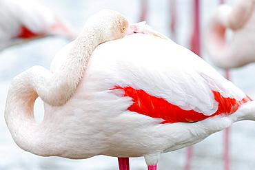 Flamingo (Phoenicopterus roseus) with head in feathers, Parc du Pont de Gau Ornithological, Stes Maries de la mer, Camargue, Southern France, France, Europe