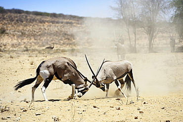 Fighting Gemsboks (Oryx gazella), Kgalagadi Transfrontier Park, North Cape, South Africa, Africa