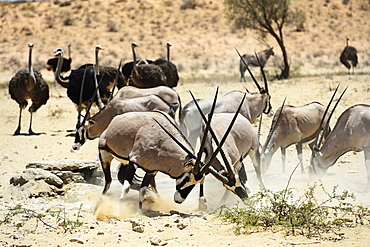 Fighting Gemsboks (Oryx gazella) and ostriches (Struthio camelus), Kgalagadi Transfrontier Park, North Cape, South Africa, Africa