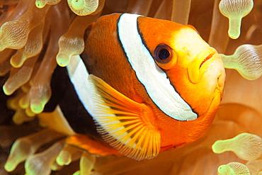 Clark's anemonefish (Amphiprion clarkii) in bubble-tip anemone (Entacmaea quadricolor), Raja Ampat archipelago, Papua Barat, Western New Guinea, Pacific Ocean, Indonesia, Asia