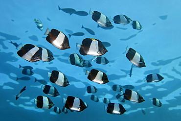 Swarm Brown-and-white butterflyfish (Hemitaurichthys zoster), Indian Ocean, Maldives, Asia
