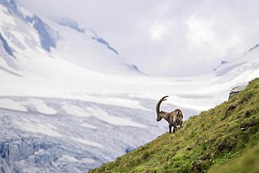 Alpine Ibex (Capra Ibex) in front of glacier, Hohe Tauern National Park, Carinthia, Austria, Europe