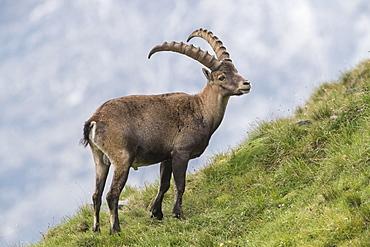 Alpine Ibex (Capra Ibex), Hohe Tauern National Park, Carinthia, Austria, Europe