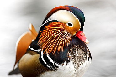 Mandarin duck (Aix galericulata), Germany, Europe