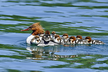 Common merganser (Mergus merganser), swimming female with many chicks on her back, Zugersee, Switzerland, Europe