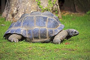 Aldabra Giant Tortoise (Aldabrachelys gigantea), adult, moving, Seychelles, Africa