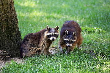 Raccoons (Procyon lotor), adult, in meadow, captive