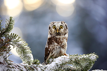 Tengmalm's owl (Aegolius funereus), adult on tree in winter, attentive, Zdarske Vrchy, Bohemian-Moravian Highlands, Czech Republic, Europe