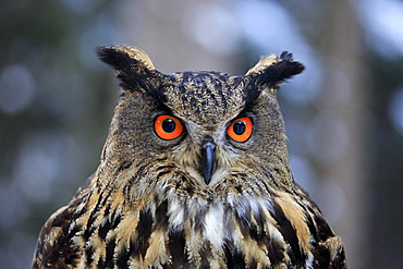 Eurasian eagle-owl (Bubo bubo), adult portrait in winter, Zdarske Vrchy, Bohemian-Moravian Highlands, Czech republic