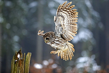 Tawny owl (Strix aluco), adult in winter, landing on lookout, Zdarske Vrchy, Bohemian-Moravian Highlands, Czech Republic, Europe