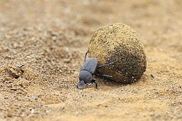 Dung beetle (Scarabaeus sacer), adult, rolling dung ball, elephant dung for egg deposition, Saint Lucia Estuary, iSimangaliso Wetland Park, Kwazulu Natal, South Africa, Africa
