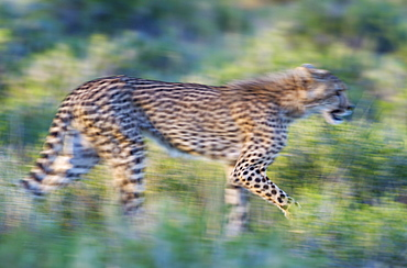 Cheetah (Acinonyx jubatus), subadult female, walking during the rainy season in green surroundings, blurred effect by panning the camera, Kalahari Desert, Kgalagadi Transfrontier Park, South Africa, Africa