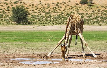 Southern Giraffe (Giraffa giraffa), male drinking from rainwater pool in the Auob riverbed, rainy season with green surroundings, Kalahari Desert, Kgalagadi Transfrontier Park, South Africa, Africa