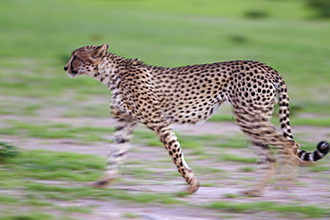 Cheetah (Acinonyx jubatus), walking during the rainy season in green surroundings, Kalahari Desert, Kgalagadi Transfrontier Park, South Africa, Africa