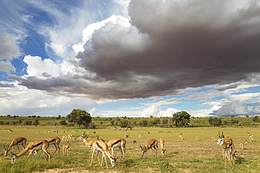 Springboks (Antidorcas marsupialis), large herd grazing in the Auob riverbed, camelthorn trees (Acacia erioloba), during the rainy season in green surroundings, cumulonimbus clouds, Kalahari Desert, Kgalagadi Transfrontier Park, South Africa, Africa