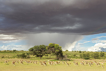 Springboks (Antidorcas marsupialis), large herd grazing in the Auob riverbed, camelthorn trees (Acacia erioloba), during the rainy season in green surroundings, cumulonimbus clouds and rain shower, Kalahari Desert, Kgalagadi Transfrontier Park, South Afri