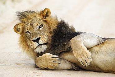 Lion (Panthera leo), black-maned Kalahari male, on road, Kalahari Desert, Kgalagadi Transfrontier Park, South Africa, Africa