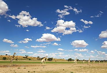 Southern Giraffes (Giraffa giraffa), herd gathered at rainwater pool in the Auob riverbed, rainy season with green surroundings and cumulus clouds, Kalahari Desert, Kgalagadi Transfrontier Park, South Africa, Africa
